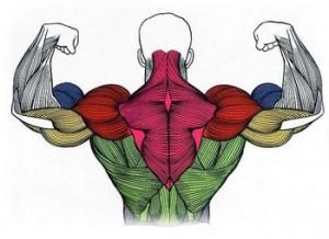 Группы мышц спины